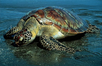 tortue-comestible-02.jpg